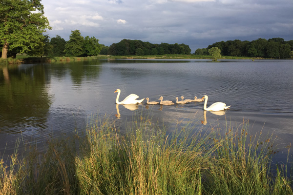 Swans on nearby Lake of Menteith