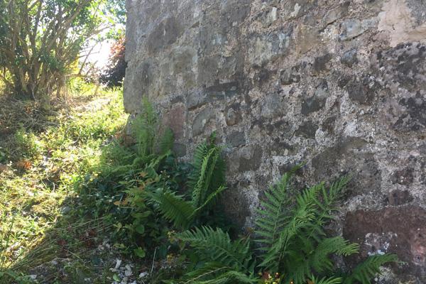 Ferns are in abundance in the garden