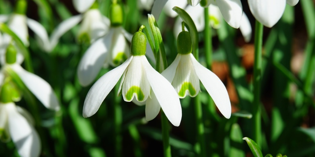 See spring snowdrops at locations throughout Scotland until March
