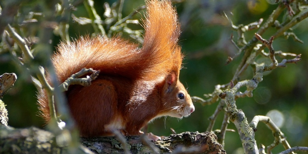 Find out where to spot red squirrels this autumn